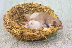 Η έννοια των νεογέννητων ποντικιών οικογενειακών φωλιών βρίσκεται στη φωλιά στοκ φωτογραφία με δικαίωμα ελεύθερης χρήσης