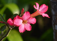 Η έρημος αυξήθηκε ή το λουλούδι αζαλεών Στοκ εικόνα με δικαίωμα ελεύθερης χρήσης
