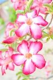 Η έρημος αυξήθηκε ή το λουλούδι Bignonia μεταλλικού θόρυβου Στοκ εικόνες με δικαίωμα ελεύθερης χρήσης