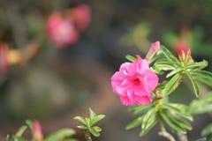 Η έρημος αυξήθηκε λουλούδι που άλλα ονόματα είναι έρημος αυξήθηκαν, πλαστή αζαλέα στον εθνικό κήπο Στοκ Φωτογραφία