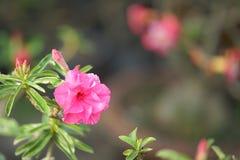 Η έρημος αυξήθηκε λουλούδι που άλλα ονόματα είναι έρημος αυξήθηκαν, πλαστή αζαλέα στον εθνικό κήπο Στοκ Φωτογραφίες
