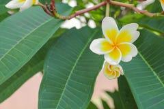 η έρημος λουλουδιών plumeria αυξήθηκε λευκό όμορφο στο δέντρο Στοκ Εικόνες