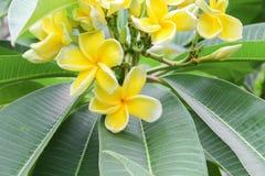 Η έρημος λουλουδιών Plumeria αυξήθηκε κίτρινος όμορφος στο δέντρο Στοκ Εικόνες