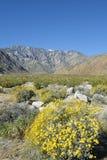 η έρημος της Καλιφόρνιας borrego anza ανθίζει τα κρατικά άγρια wildflowers πάρκων Στοκ Φωτογραφία