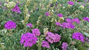 η έρημος της Καλιφόρνιας borrego anza ανθίζει τα κρατικά άγρια wildflowers πάρκων Στοκ Εικόνες