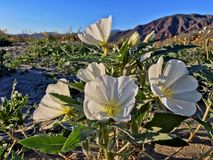 η έρημος της Καλιφόρνιας borrego anza ανθίζει τα κρατικά άγρια wildflowers πάρκων Στοκ φωτογραφία με δικαίωμα ελεύθερης χρήσης