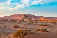 Η έρημος Namib, roadtrip στο θαυμάσιο εθνικό πάρκο Namib Naukluft, προορισμός ταξιδιού στη Ναμίμπια, Αφρική Πλεγμένη ακακία TR Στοκ Εικόνες