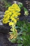 Η έρημος Pinwheel αυξήθηκε arboreum Aeonium Στοκ Εικόνες
