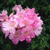 η δέσμη ανθίζει το ροζ Στοκ φωτογραφία με δικαίωμα ελεύθερης χρήσης
