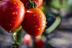Η δέσμη κόκκινου πράσινου ντοματών κερασιών στο νερό μειώνεται, ώριμο φυσικό τ Στοκ φωτογραφία με δικαίωμα ελεύθερης χρήσης