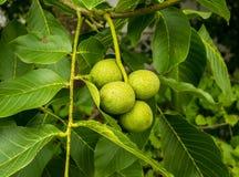 Η δέσμη του δέντρου ξύλων καρυδιάς με τα καρύδια στο κοχύλι Στοκ Εικόνες