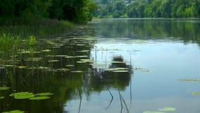Η ήρεμη επιφάνεια νερού του ποταμού με τις πράσινους τράπεζες και τους κρίνους νερού λάμπει στον ήλιο μια θερινή ημέρα απόθεμα βίντεο