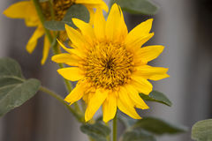 Ηλίανθοι ηλίανθος κήπων Ηλίανθοι που ανθίζουν στο sunflowe Στοκ Εικόνα