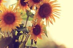 ηλίανθοι κήπων Στοκ εικόνες με δικαίωμα ελεύθερης χρήσης