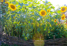 ηλίανθοι κήπων Στοκ φωτογραφίες με δικαίωμα ελεύθερης χρήσης