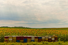 Ηλίανθοι και μέλισσες Στοκ φωτογραφίες με δικαίωμα ελεύθερης χρήσης
