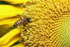 Ηλίανθοι με τις μέλισσες Στοκ Φωτογραφία