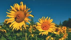 Ηλίανθοι λουλουδιών Άνθιση στο αγρόκτημα - τομέας με το μπλε ουρανό Όμορφο φυσικό χρωματισμένο υπόβαθρο Στοκ φωτογραφία με δικαίωμα ελεύθερης χρήσης