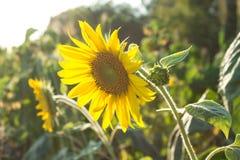 Ηλίανθοι στον τομέα, τη γεωργία και την κηπουρική Στοκ Φωτογραφίες