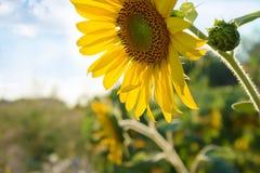 Ηλίανθοι στον τομέα, τη γεωργία και την κηπουρική Στοκ Εικόνες