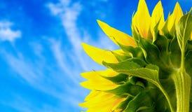 Ηλίανθος, ήλιος, ενιαίο λουλούδι Στοκ Εικόνες