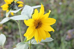 Ηλίανθος ανθών λουλουδιών Στοκ εικόνα με δικαίωμα ελεύθερης χρήσης
