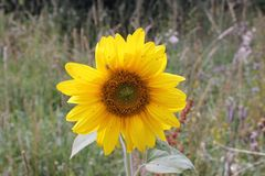 Ηλίανθος ανθών λουλουδιών Στοκ φωτογραφία με δικαίωμα ελεύθερης χρήσης
