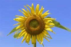 Ηλίανθος-ενιαίος λουλούδι-περίβολος επάνω Στοκ Εικόνες