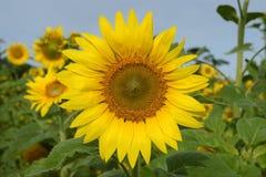 Ηλίανθος-ενιαίο λουλούδι Στοκ εικόνα με δικαίωμα ελεύθερης χρήσης