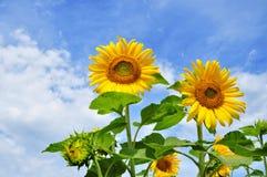 Ηλίανθος, θερινά λουλούδια Στοκ εικόνα με δικαίωμα ελεύθερης χρήσης
