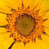 Ηλίανθος, κίτρινος ήλιος Στοκ εικόνα με δικαίωμα ελεύθερης χρήσης