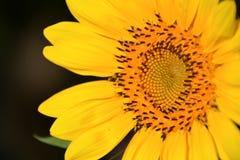 Ηλίανθος, κίτρινος ήλιος Στοκ Εικόνες