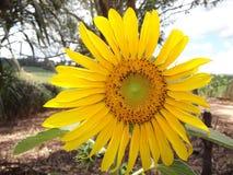 Ηλίανθος, κίτρινος, λουλούδι, άνοιξη, φύση, καλοκαίρι Στοκ φωτογραφία με δικαίωμα ελεύθερης χρήσης