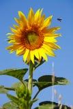 Ηλίανθος και μέλισσα Στοκ φωτογραφία με δικαίωμα ελεύθερης χρήσης