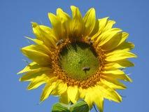 Ηλίανθος και μέλισσες Στοκ Εικόνα