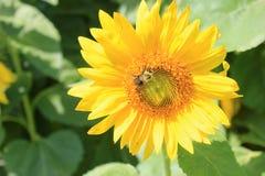 Ηλίανθος και μια μέλισσα Στοκ φωτογραφία με δικαίωμα ελεύθερης χρήσης