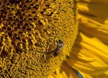 Ηλίανθος με τη μέλισσα Στοκ εικόνα με δικαίωμα ελεύθερης χρήσης