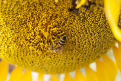 Ηλίανθος με τη μέλισσα Στοκ Εικόνες