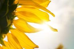 Ηλίανθος με το φως του ήλιου στοκ εικόνες