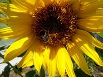 Ηλίανθος με bumble-bee Στοκ φωτογραφίες με δικαίωμα ελεύθερης χρήσης