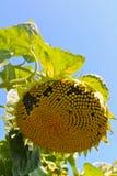 Ηλίανθος, λουλούδι κήπων Στοκ Εικόνα