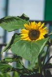 Ηλίανθος στον ήλιο Στοκ φωτογραφία με δικαίωμα ελεύθερης χρήσης
