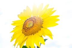 Ηλίανθος στο φως του ήλιου στον κήπο Στοκ εικόνα με δικαίωμα ελεύθερης χρήσης