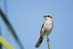 Ηλίθιος Shrike σκαρφαλωμένο στοκ φωτογραφίες με δικαίωμα ελεύθερης χρήσης