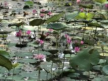 Η λίμνη του Lotus Στοκ Εικόνες