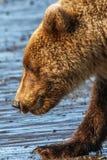 Η λίμνη Clark της Αλάσκας καφετής αντέχει Cub το πορτρέτο Στοκ Φωτογραφίες