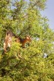 Η αίγα βόσκει argan στα δέντρα Στοκ Εικόνα