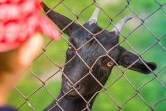 Η αίγα εξετάζει το παιδί στο ζωολογικό κήπο Στοκ εικόνα με δικαίωμα ελεύθερης χρήσης