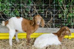 Η αίγα ζεύγους στα κατοικίδια ζώα παρουσιάζει Στοκ φωτογραφία με δικαίωμα ελεύθερης χρήσης