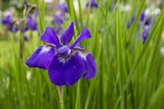 Η αγένεια πορφυρή σιβηρική Iris Στοκ φωτογραφία με δικαίωμα ελεύθερης χρήσης